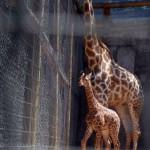 Animal humain en captivité